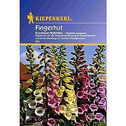 Digitalis purpurea Fingerhut Excelsior-Hybriden