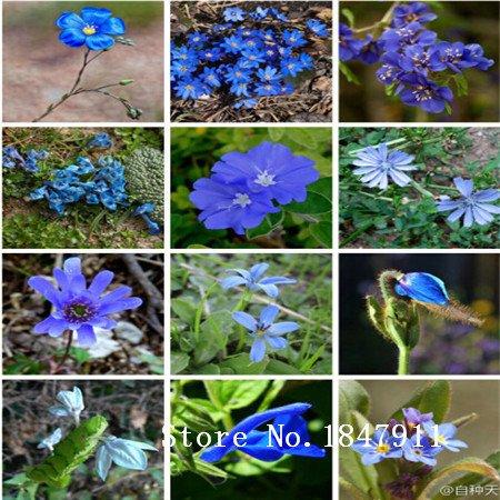 Seeds Big vente Top Grade 9 Espèces 100 mélange lin bleu Graines vivace Fleur pour Jardin en Bonsai
