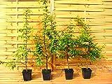 20 Stück Carpinus betulus * (Weißbuche oder Hainbuche), Weißbuchenhecke, Hainbuchenhecke * Topf 1,5 Liter 60-90 cm