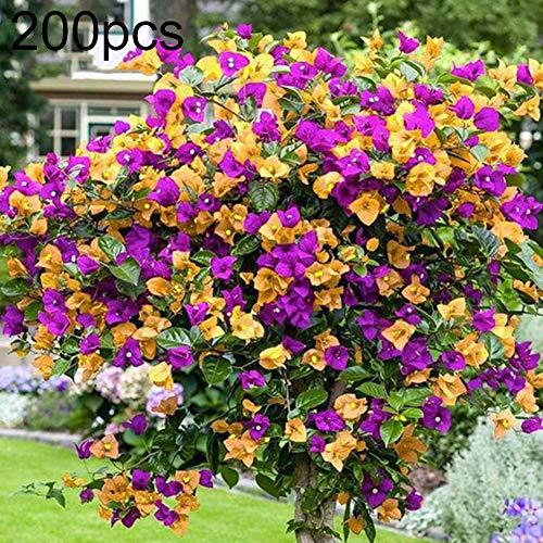 good01 200pcs semi di fiori di colore misto per bonsai da esterno, piante perenni bougainvillea spectabilis sementi di fiori piante da bonsai in vaso 200pcs semi di bouganville spectabilis