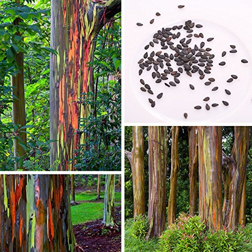 TOPmountain Regenbogen Eukalyptusbaum Samen,50 Stücke Eukalyptusbaum Samen für Hausgarten Pflanzen,Einfach zu Wachsen