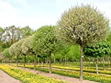 Steppenkirsche 'Globosa' - Farbenreiche Zierkirsche - Prunus fruticosa Globosa - Containerware 125-150 cm - Garten von Ehren