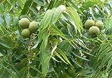 Schwarznussbaum 10 Samen-Nüsse 'Juglans nigra' Winterharte