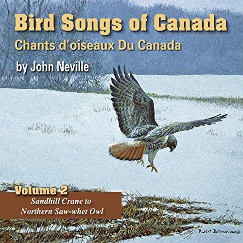 Eurasian Collared-Dove -