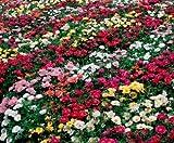 Rose Moss Seed, Misch Rose Moss Samen, Erbstück Bodendecker, niedrig wachsende 50ct