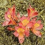 Plant World Seeds - Alstroemeria Cummingiana Seeds