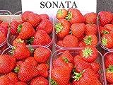 Erdbeerprofi - Erdbeere