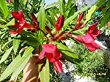 Nerium Oleander, 2x unbewurzelte Stecklinge, kräftige dunkelrote Farbe