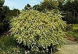 Japanische Harlekinweide Salix integra Hakuro Nishiki Containerware 40-60 cm
