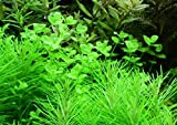 WFW wasserflora Rundblättriges Perlenkraut/Micranthemum umbrosum, Vordergrundpflanze Nano Cube