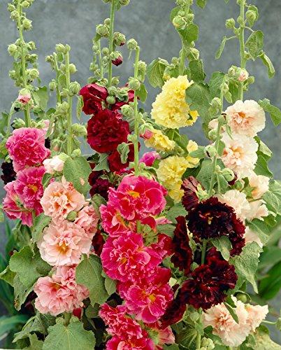 0,5 g (. circa 50) hollyhockcarnevale estivo mix semi bot .:althea rosea fiori doppi, colore misto, vecchio stile fiore 'fresh seeds - preferibilmente entro 12,2017!'