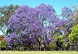 Jacaranda, Palisanderholzbaum, blau blühender Baum, 65 Samen! Groco