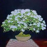 Pinkdose® Weiß: Davitu 20 Stücke Akazie Baum Samen Bunte Albizia Julibrissin Baum Samen Indoor Bonsai Baum Pflanzen - (Farbe: Weiß)