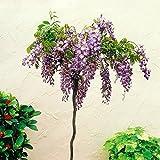 Arbre à Glycine Sinensis Standard - 1 arbre