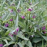 100 graines fraîches - consoude Herb Seeds