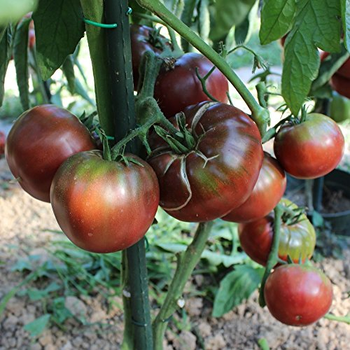 10 Samen Brandywine Black Tomate – sehr kältetolerant, Weingeschmack