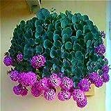 Neue Artikel 50 Stück hängend Frühlingszwiebel Samen Seltene Lila Kleine Allium Blumensamen Indoor Balkon Perennial Laub Blumen-Topf.