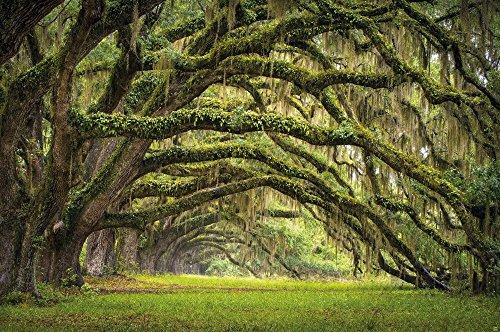 Viale verde delle querce in estate fotomurale decorazione da parete by GREAT ART (210 x (Oak Poster)
