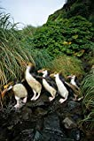 Fine Art Print – Royal Pinguin Gruppe Pendler Stream Bett, Macquarie Island von Bentley Global Arts Gruppe, canvas, multi, 12 x 19