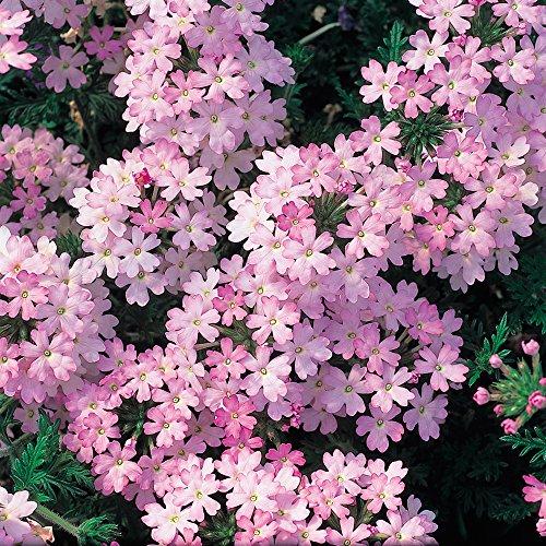 6-patio-plug-plants-verbena-aztectm-magic-pink