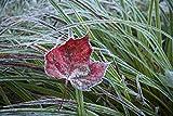 The Poster Corp Jenna Szerlag/Design Pics – Frosty leaf in autumn; Waterbury Vermont United States of America Fine Art Print (43.18 x 27.94 cm)