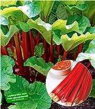 BALDUR-Garten Immertragende Rhabarber Pflanze'Livingstone' immertragend, 1 Pflanze Rhabarberstaude winterhart