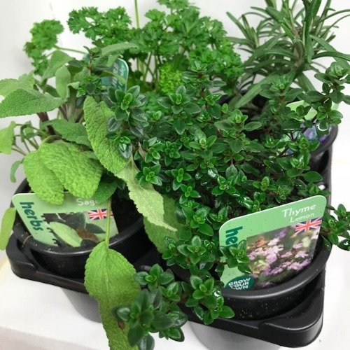 Herbs 4 Pack Quality Selection of Plants Ready to Plant Out