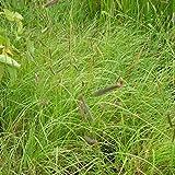 lichtnelke - Moskitogras (Bouteloua gracilis)
