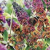Portal Cool Buddleia Flower Power Bi-Colored Schmetterling Bush - Begrenzte Verfügbarkeit!