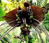 Portal Cool Lila Schläger Pflanze Fledermausblume Einzigartige Rare Bizarre Zimmerpflanze 5 Samen