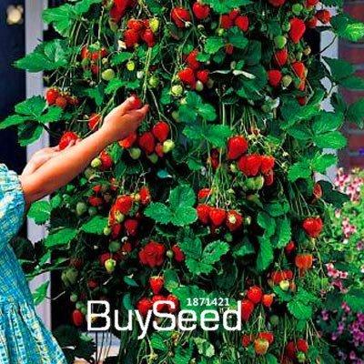 100 Samen/Lotto Tree Kletterpflanzen Fragola Semi Cortile Garten mit Obst und Gemüse Samen im Topf