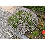Seedlings india Thyme French Herbal & Medicinal live plant