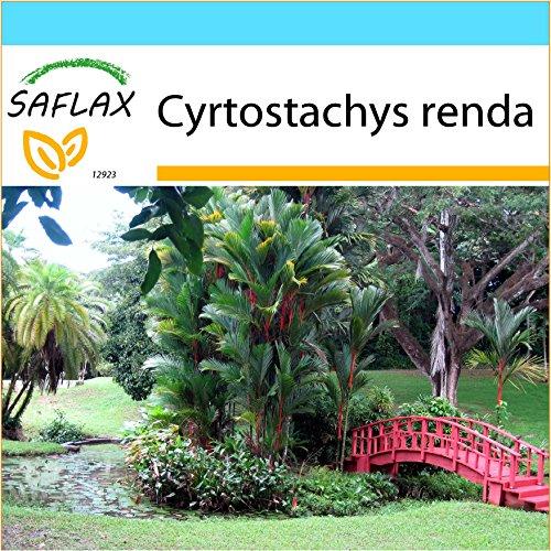 SAFLAX - Kit cadeau - Palmier à tronc rouge - 10 graines - Cyrtostachys renda