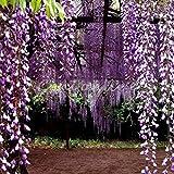 Soteer Garten- 5/10 Stück Afrikanischer Blauregen Samen Wisteria sinensis Glycinie Sichtschutz seltene Zierpflanzen schnellwüchsig winterhart