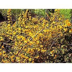 Tree Seeds Online - Berberis Julianae - Berberitze 25 Samen - 10 Packungen