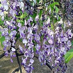 TOPmountain Wistaria Sinensis Samen 10 Stück Chinesische Glyzinie Blumensamen für Garten