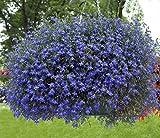 Männertreu 1000 Samen, Lobelie Pendula Sapphire Samen, Hängelobelien (Hängende Mischung)