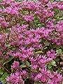 Sedum spurium Purpurteppich, 100 Pflanzen von Dachstauden bei Du und dein Garten