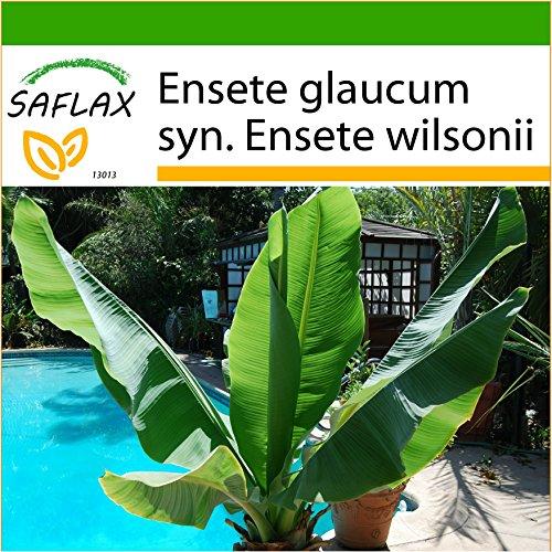 SAFLAX - Große Schneebanane - 10 Samen - Mit Substrat - Ensete glaucum syn. Ensete wilsonii