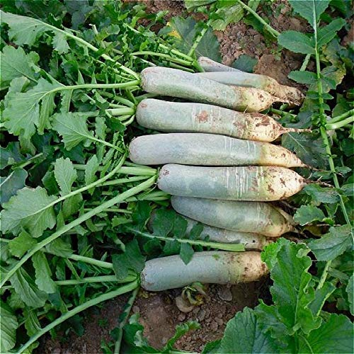 Shopmeeko En gros 200 graines Rainbow Carrot plantes légume plantes de jardin perdent du poids, bonsaï légumes bonsaï pour enfant planter Clas: Brown