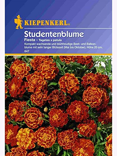 Tagetes patula Fiesta niedrige Studentenblume
