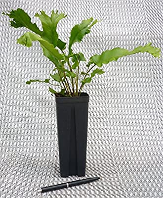 Farn- 5 Stk.- Asplenium scolopendrium 'Cristata'- Topf: 0,7 ltr von GardenPalms auf Du und dein Garten