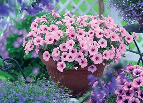 100 graines de pétunia --Black velours pétunia, variété rare, rustique, balcon durable, cour bonsaïs de fleurs pour le jardin de la maison jaune