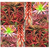 RED ALOE Aloe cameronii Seed 1000 Dry Seeds - Excellent House Plants, Cameron's Ruwari Aloe – Excellent House Plants for Greenhouses Or Home - SOUTH AFRICAN ALOE