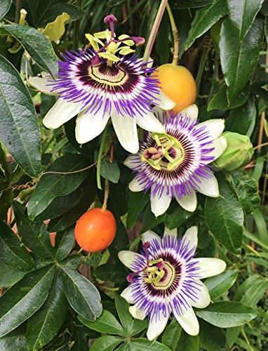 Palmenmann Passionsblume Frostverträglich - Passiflora caerulea