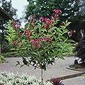 Weigelia Bristol Ruby als Kugel-Stämmchen gezogen rot blühend, 1 Pflanze von Amazon.de Pflanzenservice - Du und dein Garten