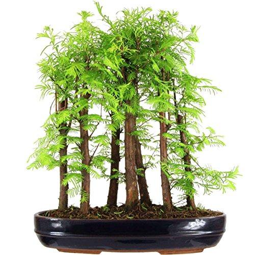 metasequoia-bonsai-10-ans-50cm