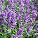 Foerster-Staude Traubige Katzenminze Odeur Citron im 4er-Set lila blühend Staude Sonne Nepeta racemosa im 0,5 Liter Topf 4 Pflanzen