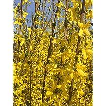Forsythie Spectabilis Goldglöckchen gelbe Blüten 60-80 cm im 3 Liter Topf