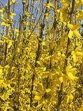 Forsythie Spectabilis 80-100 cm Busch für Sonne-Halbschatten Zierstrauch gelb blühend Balkonpflanze winterhart 1 Pflanze im Topf